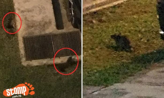 Rats scurry around carpark at Bukit Batok St 52