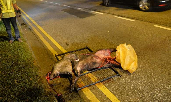 The boar had dashed out into the middle of the road, and the driver could not stop in time. PHOTO: LIANHE WANBAO