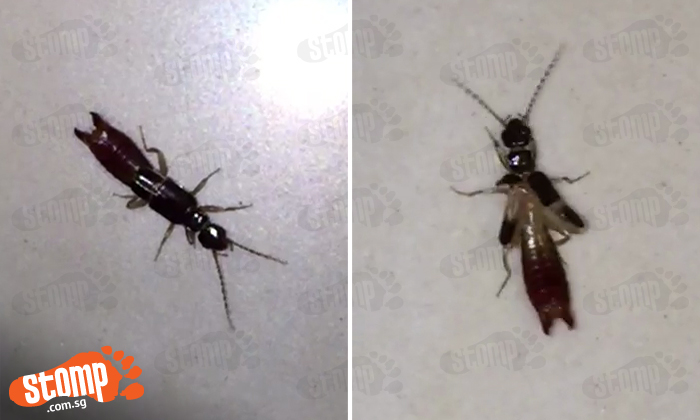 Menacing Insect Looks Like Ant Has Pincer Like Scorpion And Can Even Fly