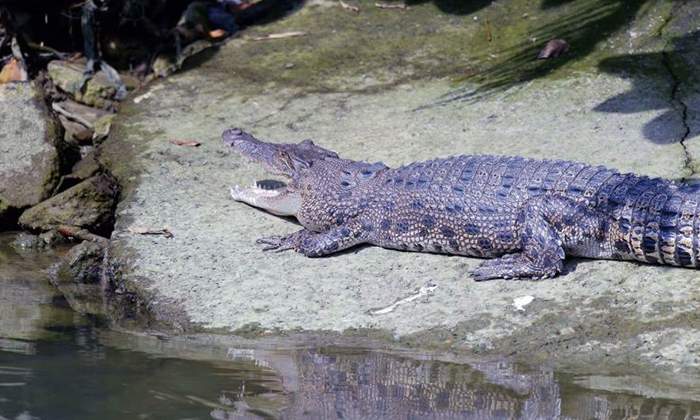 Photo: The Straits Times. Photo of a crocodile at Pasir Ris Park taken by Mr Ted Lee