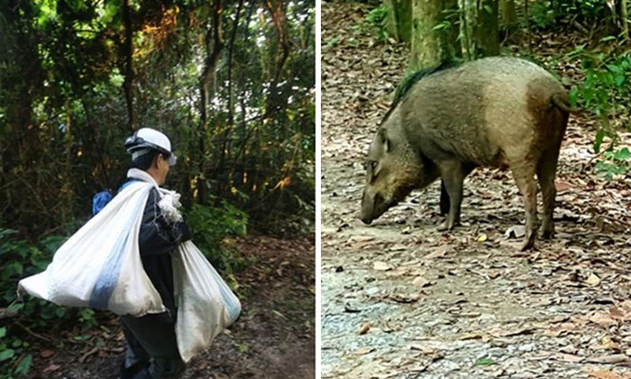The number of people picking durians at Rifle Range Road have increased, despite encounters with wild boars. Photo: Illustration from Lianhe Wanbao