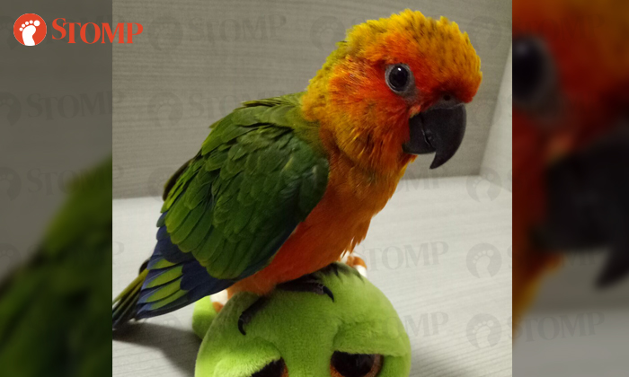 Reward Offered For Sun Conure That Flew Away From Home At Choa Chu