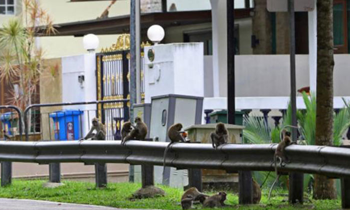 The monkeys have become a frequent sight in the neighbourhood. PHOTO: LIANHE WANBAO