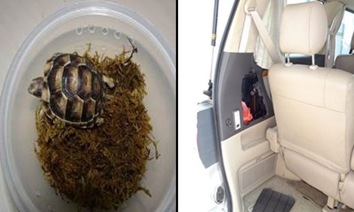A live Greek tortoise was found in a plastic container that was concealed in the rear left compartment of a Singapore-registered vehicle at Woodlands Checkpoint. (Photo: AVA)