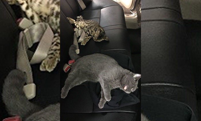 A Bengal Cross (top) and British Shorthair (bottom), were found covered with two dark-coloured shirts beneath the driver and front passenger seats of the car. Photo: AVA