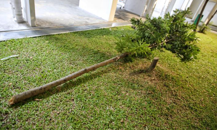 A tree had to be cut down for a safety mattress to be placed at the foot of Block 269B Yishun Street 22. Photo: Shin Min Daily News