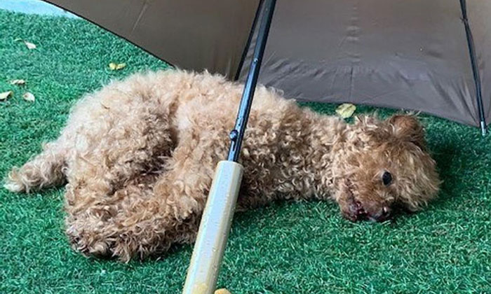 The 11-year-old toy poodle, named Dou Dou, landed on a grass patch on the ground floor and started bleeding from its mouth. It was later put down. PHOTO: NATIONAL PARKS BOARD