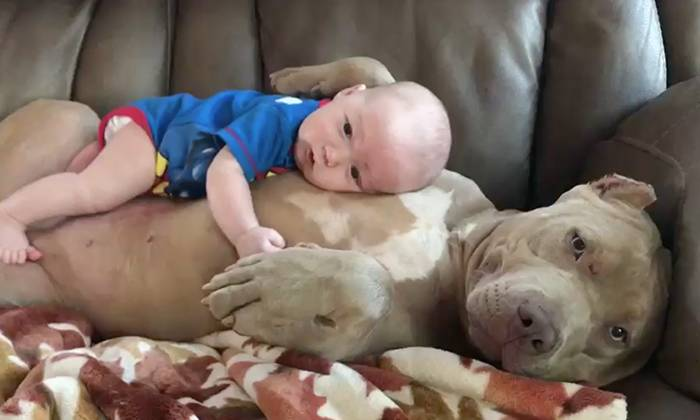 this pitbull is a doggone good babysitter stomp
