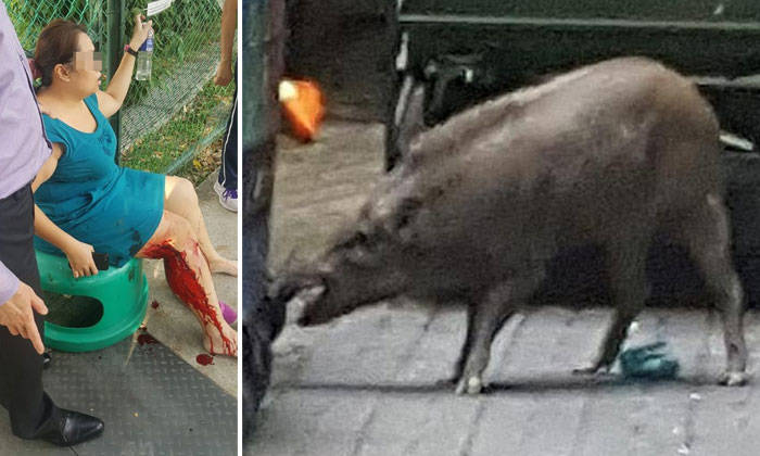 Wild Boar Attacks Human 40kg wild boar in Pung...