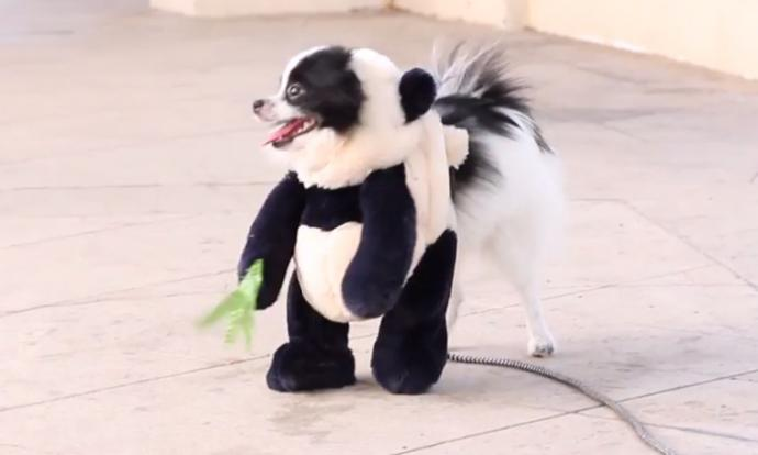how a dog able dog dresses up as panda for halloween stomp