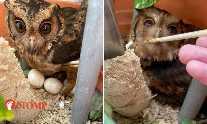 Stomper's brother feeds and cares for owl that laid eggs on his Penang balcony, strikes 4D
