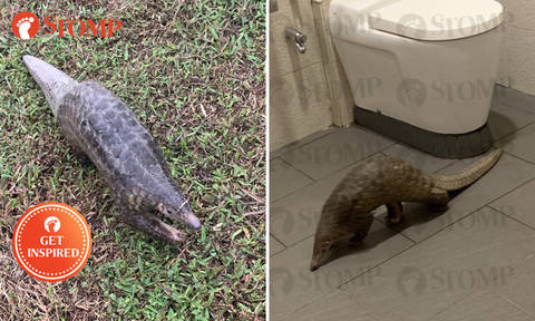 Pangolin kept safe in toilet by residents after trying to cross Upper Thomson Road, rescued by Acres