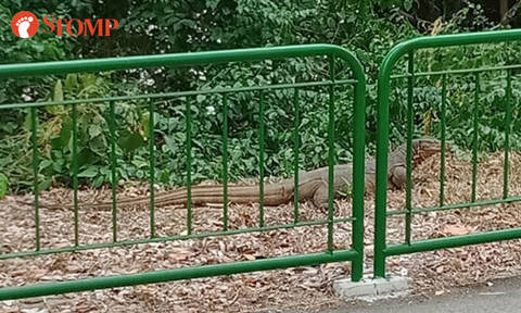 "Stomper encounters monitor lizard at Upper Serangoon View: ""It's the biggest I've seen"""