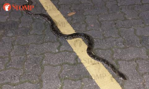 Long snake hangs around Lower Seletar Reservoir Park during wee hours