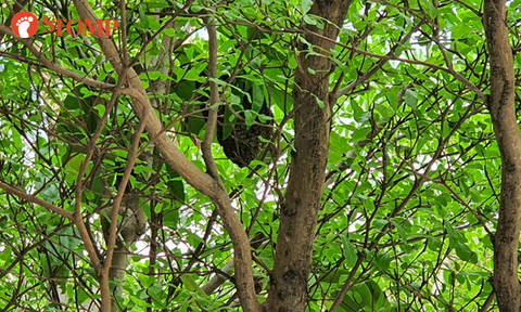 Resident concerned about 2 beehives on trees near carpark in Simei