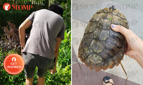 Stomper and kind passer-by help lost turtle return to pond at Kampung Admiralty