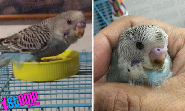 Man appealing for help to find lost budgie last seen at Yishun Ave 3 Block 767